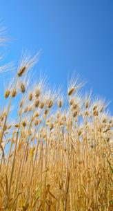 大麦畑の写真素材 [FYI03053437]