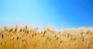 大麦畑の写真素材 [FYI03053440]