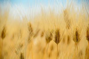 大麦畑の写真素材 [FYI03053449]