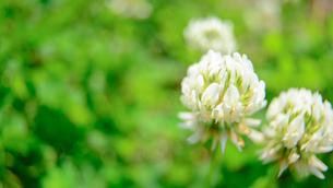 シロツメクサの花の写真素材 [FYI03053454]
