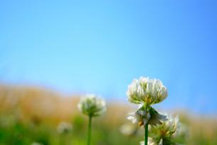 シロツメクサの花の写真素材 [FYI03053455]