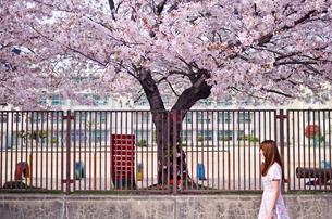 桜の木と女性の写真素材 [FYI03053751]