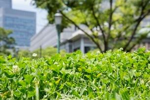オフィス街に咲くシロツメクサの写真素材 [FYI03053935]