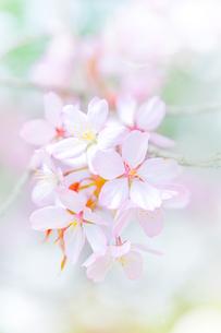 桜の写真素材 [FYI03054733]