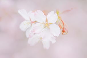 桜の写真素材 [FYI03054741]