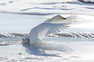 白鳥の写真素材 [FYI03054758]