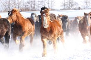 雪原を走る馬の写真素材 [FYI03054766]