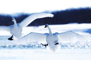 白鳥の写真素材 [FYI03054772]
