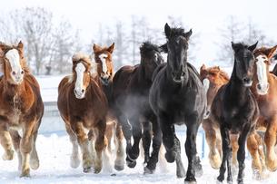 雪原を走る馬の写真素材 [FYI03054776]