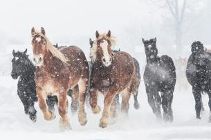 雪原を走る馬の集団の写真素材 [FYI03054803]