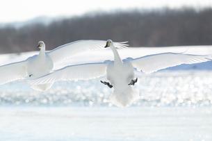 白鳥の写真素材 [FYI03054816]