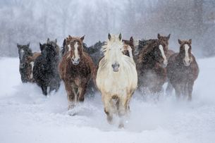 雪原を走る馬の集団の写真素材 [FYI03054852]