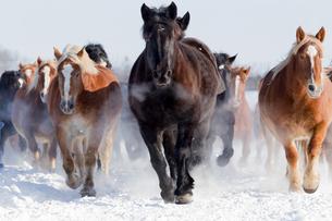 雪原を走る馬の集団の写真素材 [FYI03054866]
