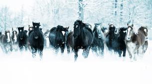 雪原を走る馬の集団の写真素材 [FYI03054868]