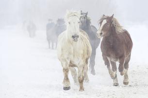 雪原を走る馬の集団の写真素材 [FYI03054874]