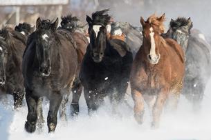雪原を走る馬の集団の写真素材 [FYI03054875]