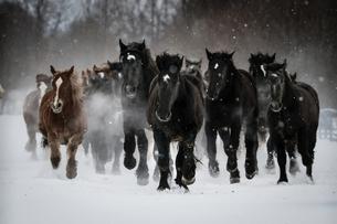 雪原を走る馬の集団の写真素材 [FYI03054879]