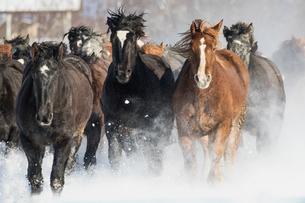 雪原を走る馬の集団の写真素材 [FYI03054887]