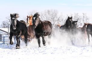 雪原を走る馬の集団の写真素材 [FYI03054898]