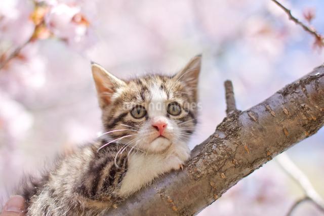 子猫と桜の写真素材 [FYI03054962]