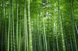 竹林の写真素材 [FYI03055014]