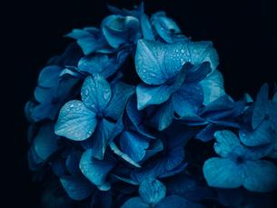 紫陽花の写真素材 [FYI03055031]