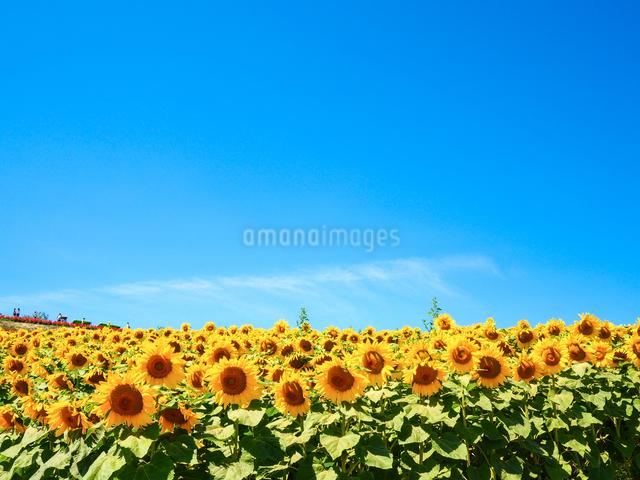 ひまわり畑の写真素材 [FYI03055123]