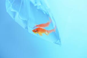金魚の写真素材 [FYI03055326]
