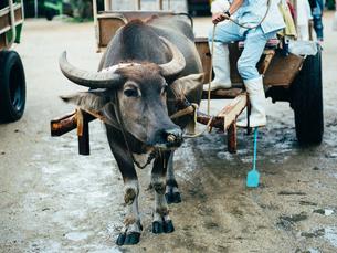 水牛の写真素材 [FYI03055425]