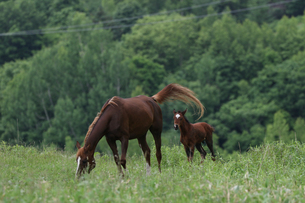 北海道の馬の写真素材 [FYI03055426]