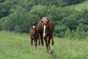 北海道の馬の写真素材 [FYI03055431]