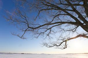 冬のハルニレの木の写真素材 [FYI03055440]