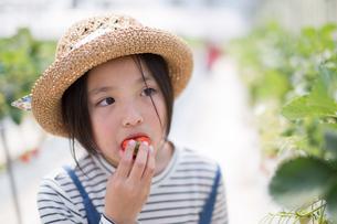 イチゴ狩りの写真素材 [FYI03055671]