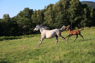 放牧地の馬の写真素材 [FYI03055679]