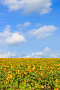 ひまわり畑の写真素材 [FYI03055685]