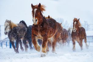 雪原を走る馬の集団の写真素材 [FYI03055720]