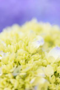 紫陽花の花の写真素材 [FYI03055867]