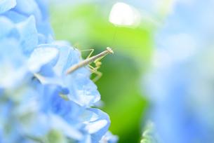 紫陽花の花にいるカマキリの写真素材 [FYI03055869]