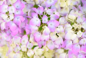 アジサイの花の写真素材 [FYI03055872]