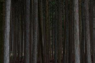 ヒノキの植林地の写真素材 [FYI03055894]