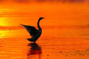 白鳥と朝焼けの川の写真素材 [FYI03055900]