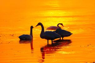 白鳥と朝焼けの川の写真素材 [FYI03055901]