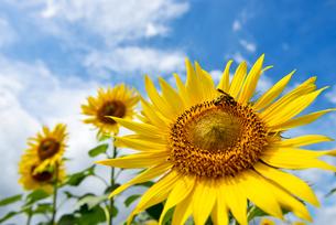 ヒマワリと蜜を吸うハチの写真素材 [FYI03055904]