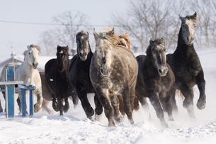雪原を走る馬の写真素材 [FYI03055912]