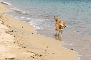 柴犬(虎毛)の写真素材 [FYI03055921]