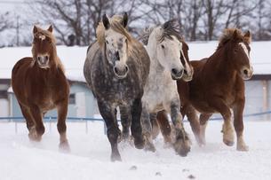 雪原を走る馬の写真素材 [FYI03055958]