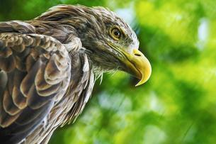 鷹の写真素材 [FYI03055977]