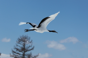 鶴の写真素材 [FYI03055994]