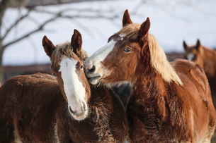 冬の馬の写真素材 [FYI03056048]