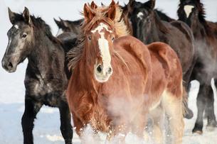 冬の馬の写真素材 [FYI03056053]
